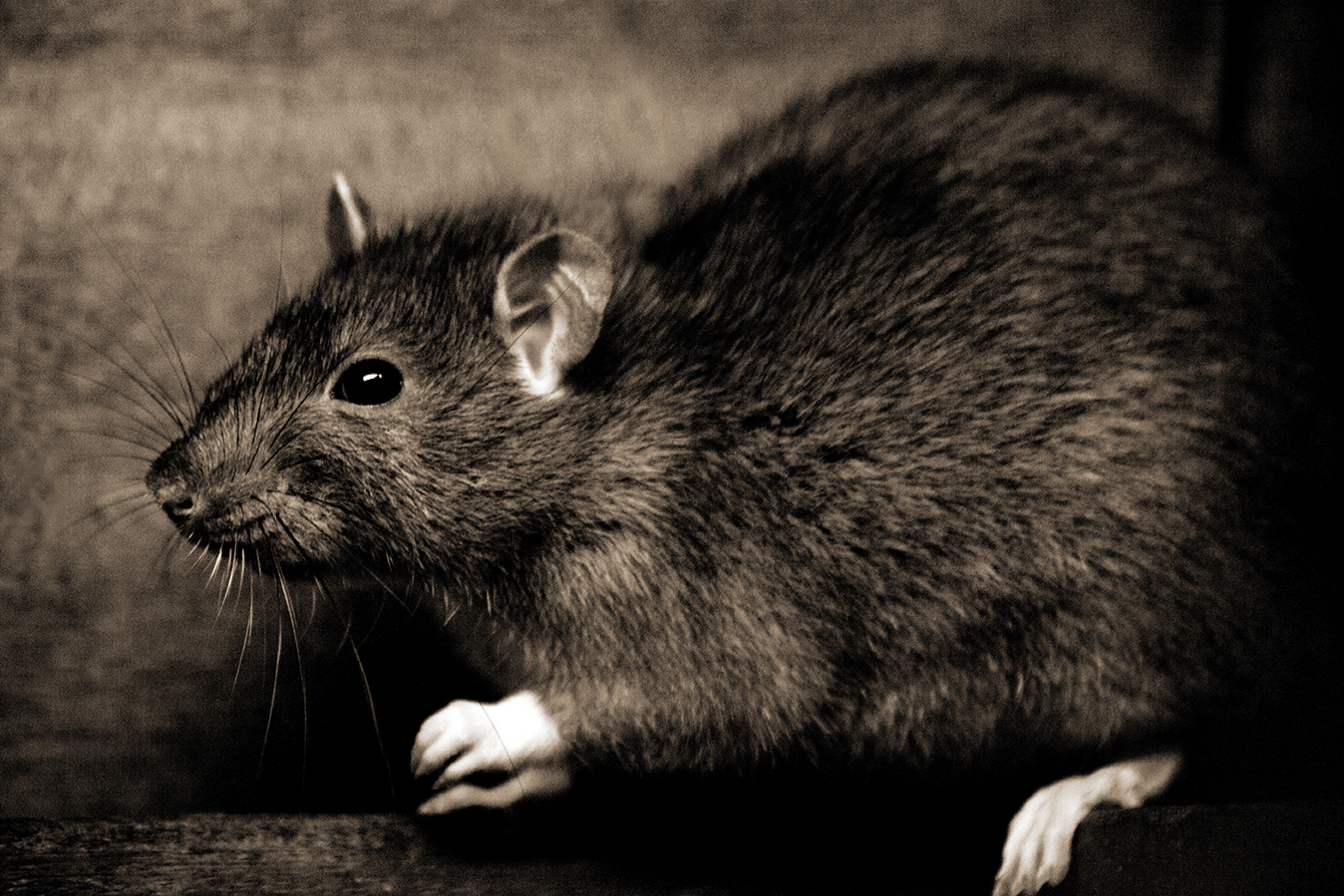 Rats Not Plague Reservoirs In Medieval Europe